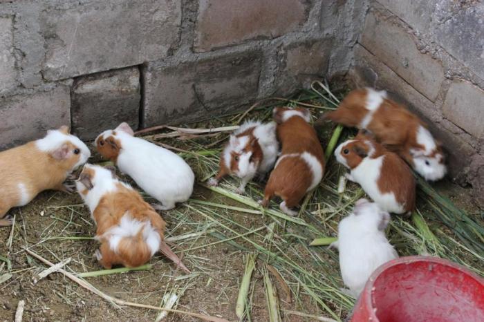 Guinea pigs 5 sm