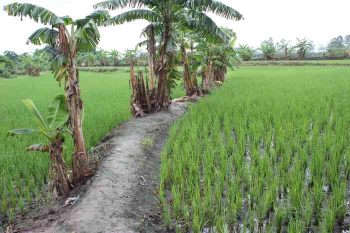 rice c