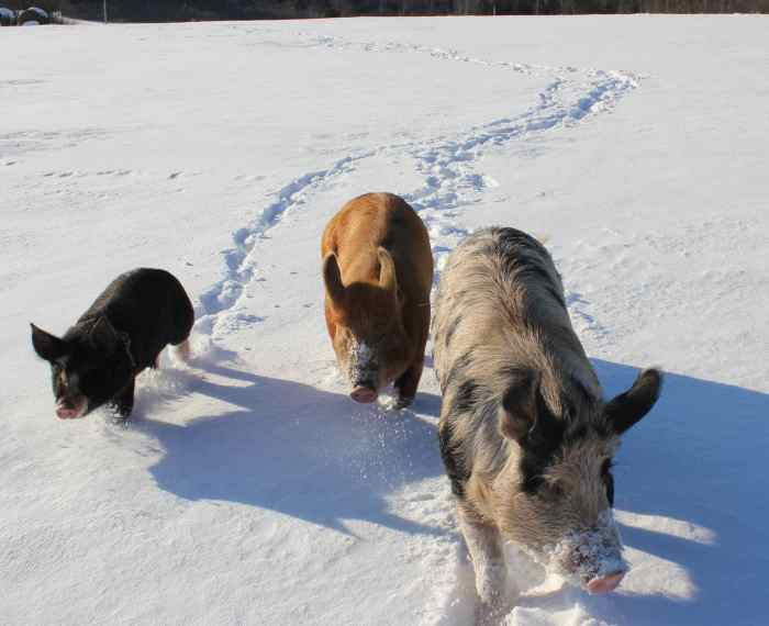 3 pigs walking in snow follow