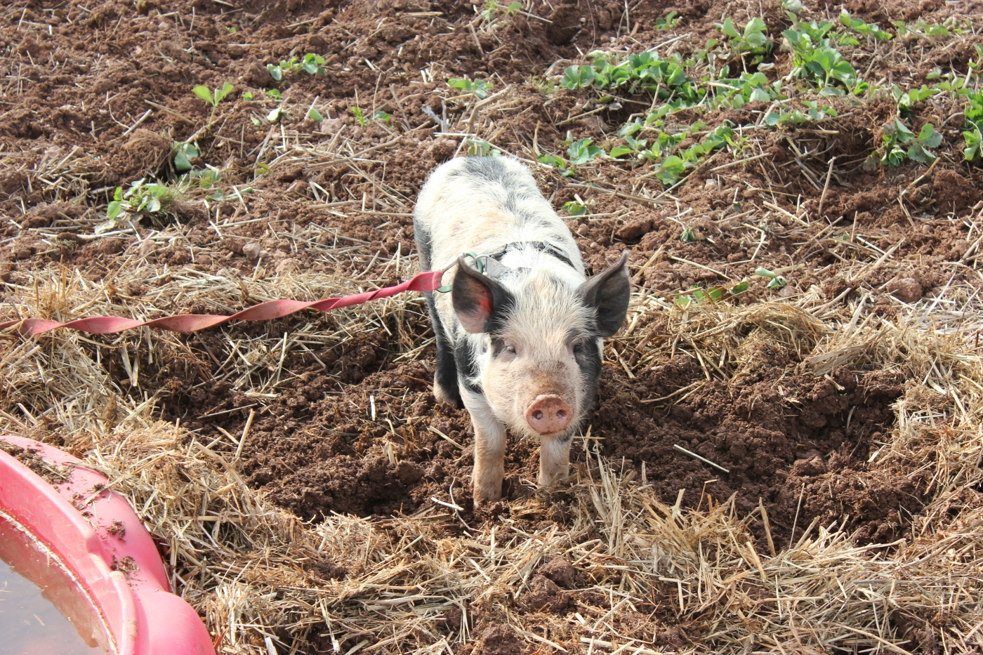 The Post Apocalyptic Permaculture Pig thumbnail