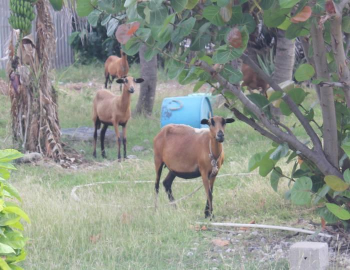 roap goat 2